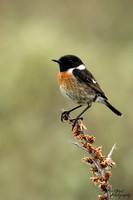 Roodborst tapuit / Common Stonechat