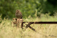 Steenuil / Little Owl
